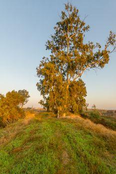 Sunrise view of a Eucalyptus tree, in En Afek nature reserve, northern Israel