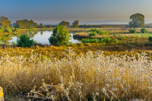 Morning view over wetland with Asian Water Buffalos (Bubalus bubalis), in En Afek nature reserve, northern Israel