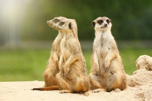 Portrait of group of three standing adorable suricates.