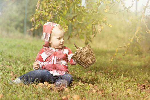 Adorable baby boy is holding wicker basket full of walnuts sitting in autumn garden. Photo in soft light autumn colors.