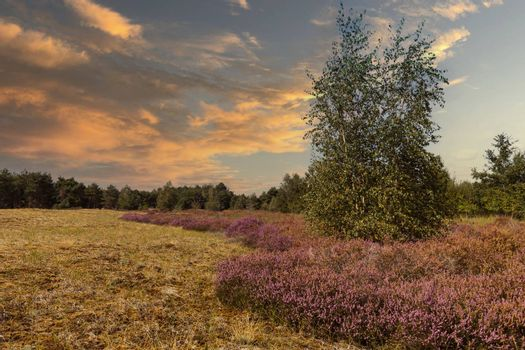 the nature reserve Maasduinen with the sandy heathland and forests in North Limburg in the Netherlands