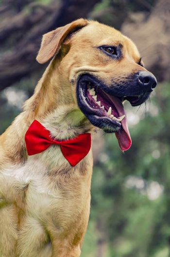 Beautiful Labrador retriever with red bow isolated on park background