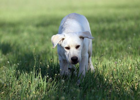nice yellow labrador in the park