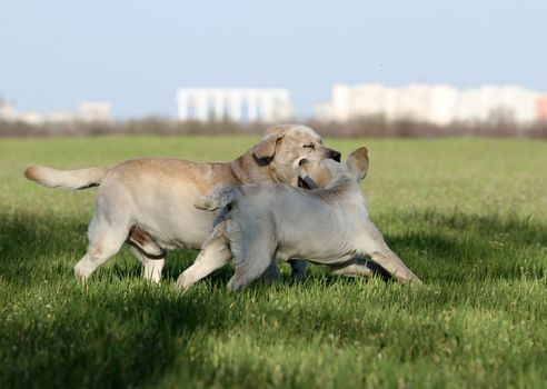 two yellow labradors in the park