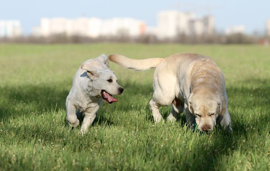 two nice yellow labradors in the park