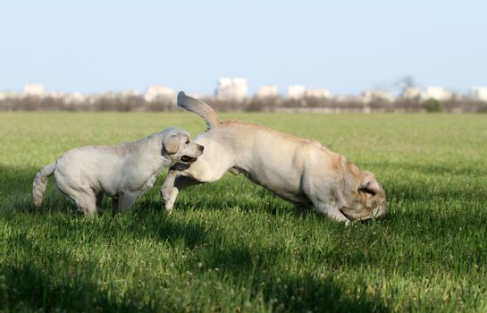 two sweet yellow labradors in the park