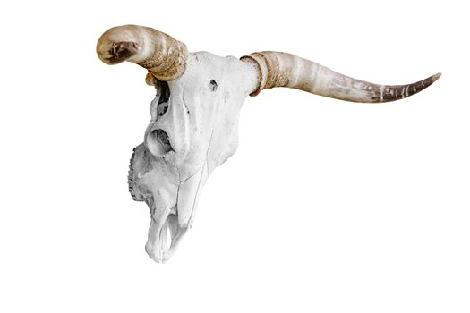 Bull skull with horns over the white background