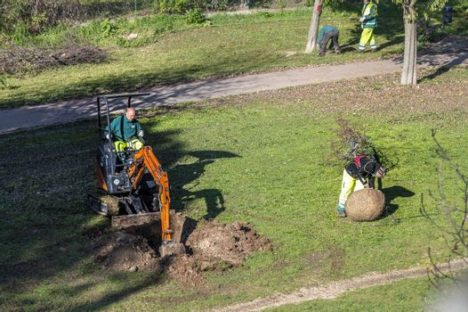 terni,italy november 19 2020:municipal workers dig a hole to plant a tree