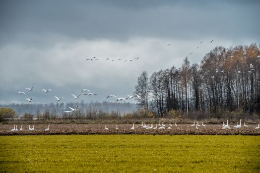 Flock of Whooper swan, Cygnus walking on field