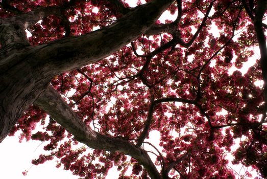 A tranquil view from beneath the Cherry Tree during the full springtime bloom of the pink flowers.
