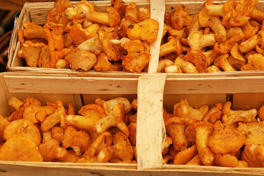 Chanterelle edible mushrooms at retail display
