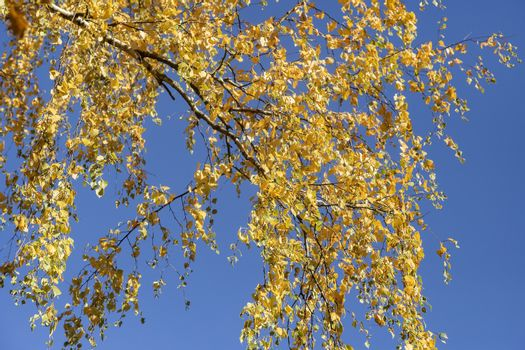 Against the blue sky birch branches are covered with bright yellow autumn leaves.