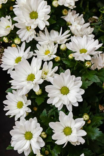 Beautiful white chrysanthemums in green leaves. Garden plant.