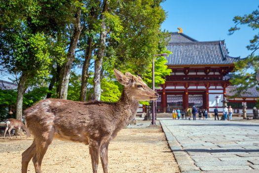 Deer at Todaiji temple in Nara,  Japan