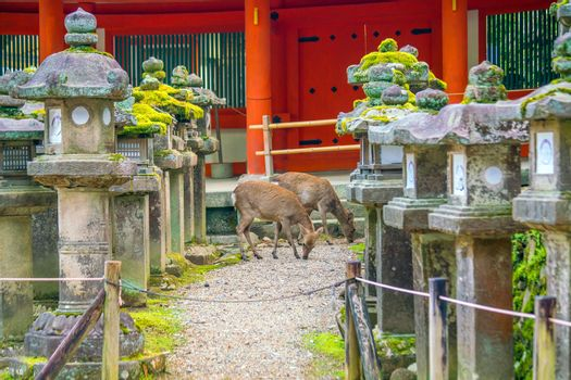Deer in downtown area of Nara, Japan