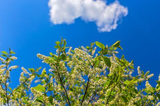 florescence of bird-cherry on blue sky with single cloud