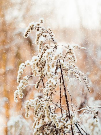 Dried grass under the snow. Snowfall in forest. Winter season. Natural background.