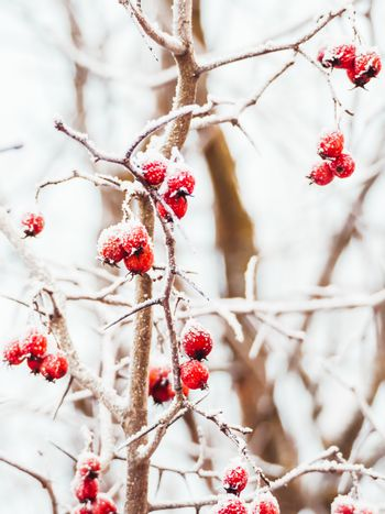 Hawthorn branches with red berries covered with frost. Frozen berries in the forest.