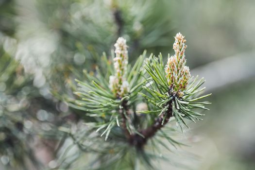 Blossoming pine tree branches. Coniferous tree is bloom. Spring season in forest. Natural background.