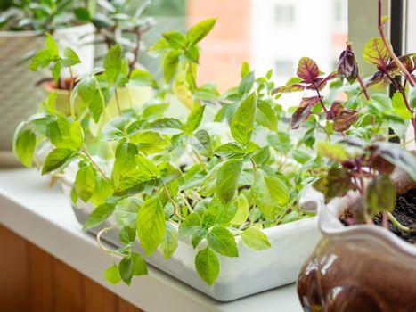 Home gardening. Seedlings of basil in flower pot on windowsill. Room plants.