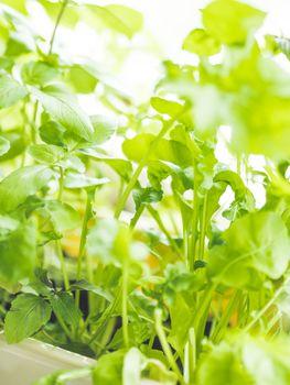 Home gardening. Seedlings of basil in flower pot on windowsill. Room plants. Relaxing activity.