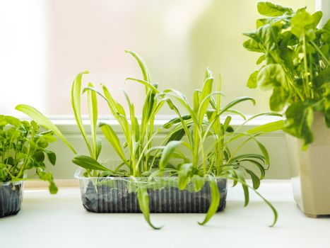 Home gardening. Seedlings of basil and rocket in flower pot on windowsill. Room plants. Reuse of plastic containers for food. Zero waste concept with copy space.