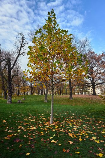 Young deciduous maple tree in a park during autumn