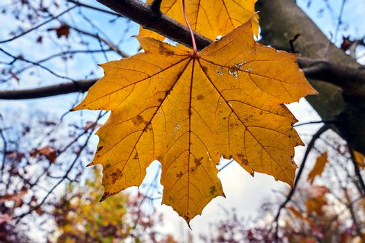 Detail of a damaged maple leaf in a park during autumn