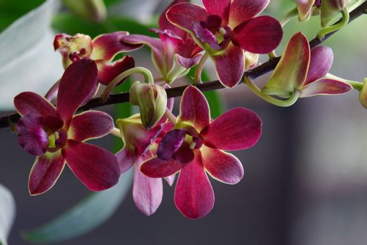 close up image of beautiful dendrobium mangosteen in full bloom has a velvety maroon red color like mangosteen planted in the garden in the garden isolated blur background , out of focus