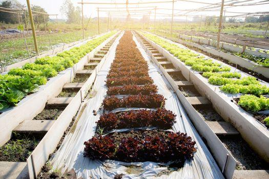 Fresh sapling of green oak or red oak romaine lettuce organic