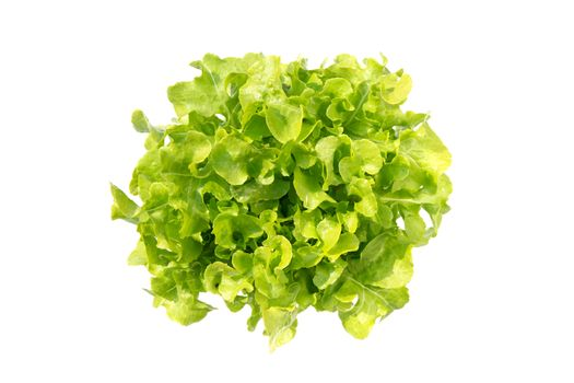 Fresh green oak romaine lettuce vegetable for salad with nutrien