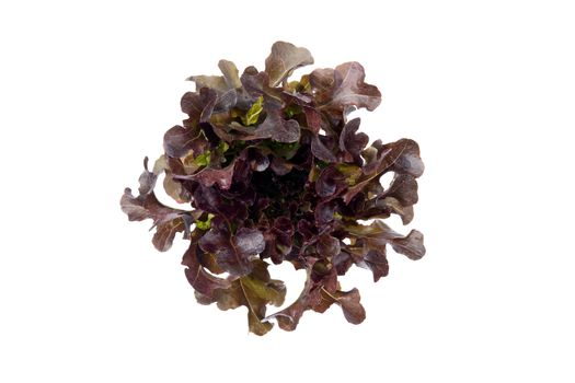 Fresh red oak romaine lettuce vegetable for salad with nutrient