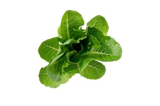 Fresh green cos lettuce or romaine lettuce vegetable for salad w