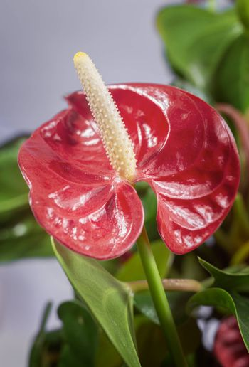 Bright red beautiful flower of the indoor plant Anthurium among green leaves. Front view, close-up.