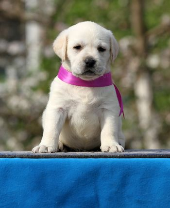 a yellow labrador puppy on the blue