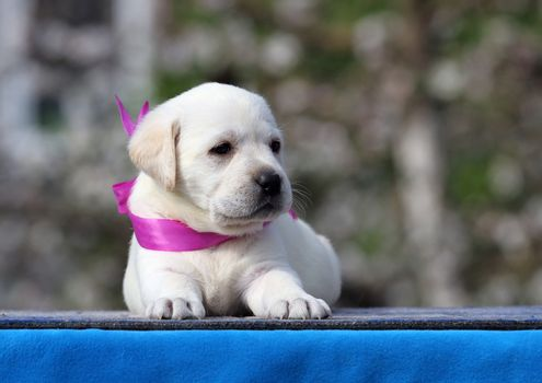 the yellow labrador puppy on the blue