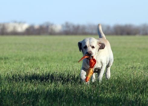 a yellow labrador in the park