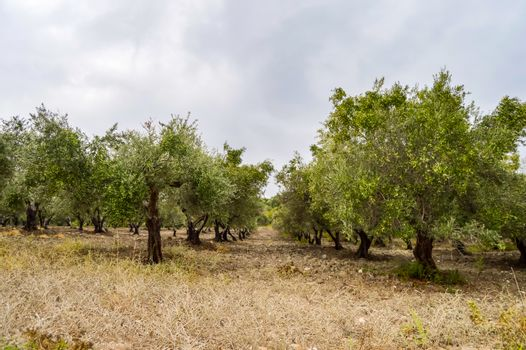 Olive plantation in Crete, the island of olive trees