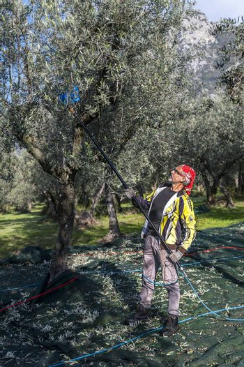 terni,italy november 26 2020:workers who harvest olive from the columns with hydraulic rakes