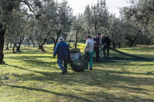 terni,italy november 26 2020:workers who shake cloth full of olive after harvest