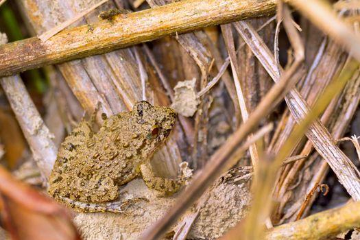 Frog, Royal Bardia National Park, Nepal