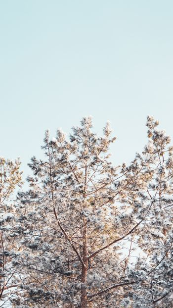Top of pine trees after snowfall. Winter in forest. Snowy weather in wood at sunny day. Natural background with copy space.