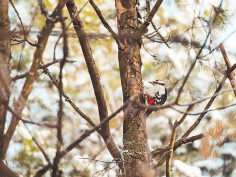 Great spotted woodpecker, Dendrocopos major, knocks on the bark of a tree, extracting edable insects. Bird in winter forest.