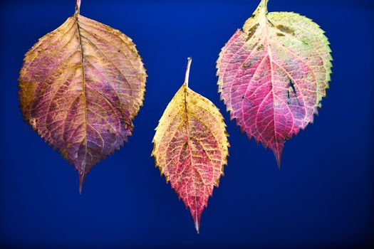 colorful leaves of a hydrangea bush during fall season