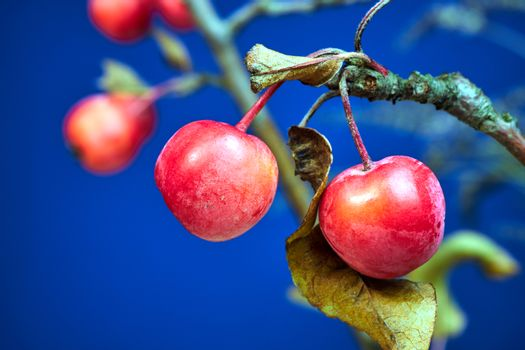 small, spherical fruit of paradise apple tree during autumn