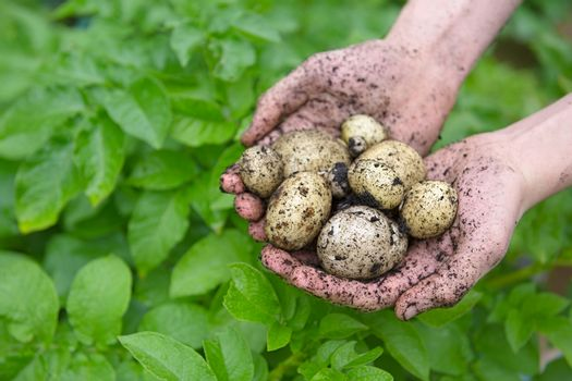 Youthful hands show a variety of fresh picked home grown potatoes