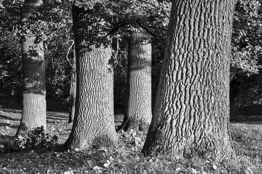 The bark on the trunk of oaks during autumn