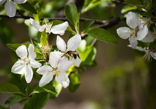 nature background bee drinks nectar from an apple blossom