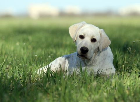 sweet yellow labrador in the park