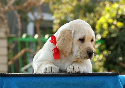 sweet yellow labrador puppy on the blue